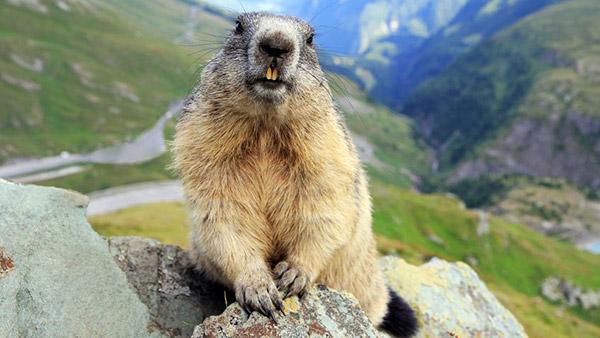 marmota-fauna-camping